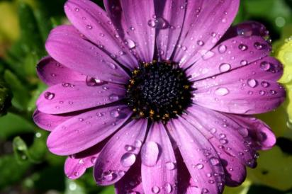 daisy_purple_IMG_22297_1